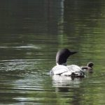 Single Loon Chick Hatched on big Otter Lake Today – Boat Extra Carefully!!
